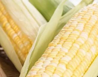 水果玉米是转基因吗?
