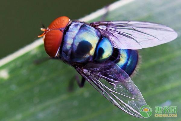 坚挺金苍蝇是什么_辰颐物语编辑部整理:苍蝇怕什么?消灭苍蝇都有哪些家庭妙招 ...