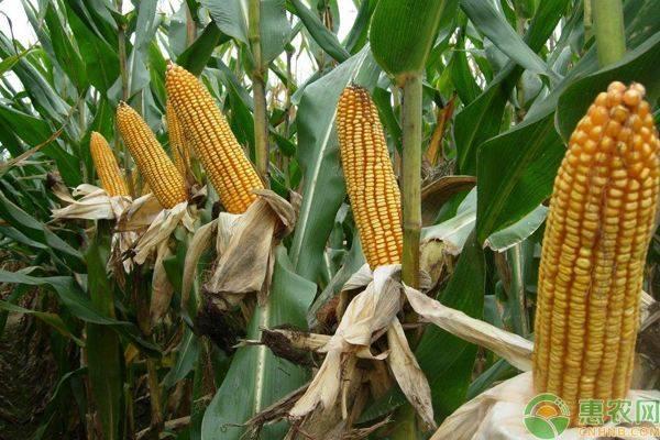 良玉188玉米种_辰颐物语编辑部整理:密植玉米品种有哪些?耐密植性好的玉米